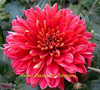 Хризантема ЛЕТНЯЯ , фото 1