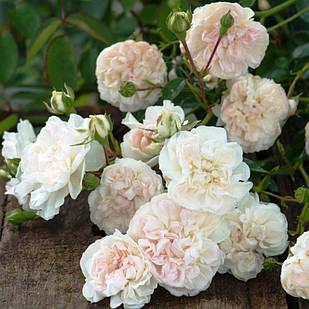 Саженцы почвопокровной розы Свани (Rose Swany)