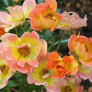 Саженцы почвопокровной розы Эйфория (Rose Euphoria)