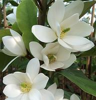 Магнолия 'Fairy White'®Blush (Фейри Вайт Блаш) гор С1