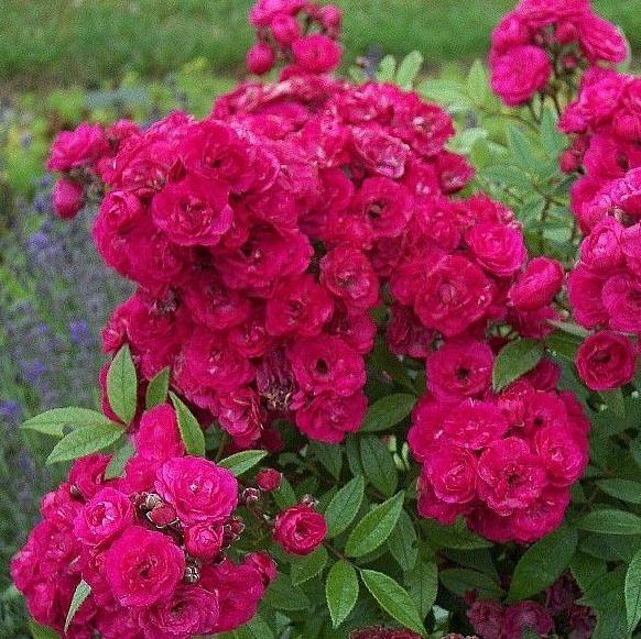 Саджанці троянди кущовий Дінки (Rose Dinky)