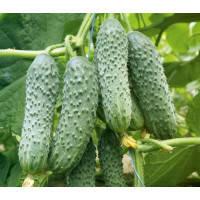Насіння огірка Капрікорн F1 (250шт) Yuksel Seeds