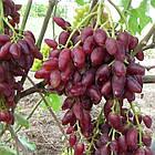 Саженцы Винограда Дубовский розовый - раннего срока, крупноплодный, транспортабельный, фото 2