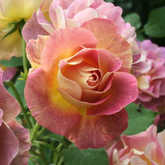 Саженцы розы кустовой Приёр дё Сен Косм (Rose Prieure de Saint Cosme)