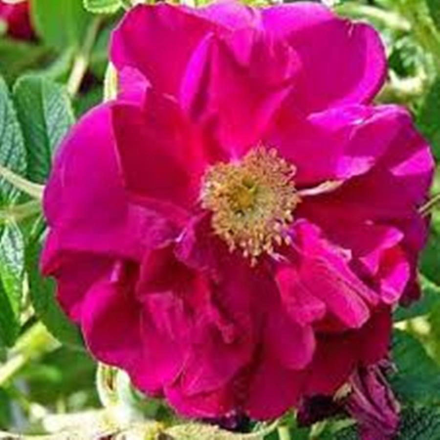 Саженцы розы - парковой Габи Ковер (Rose Gaby Cover)