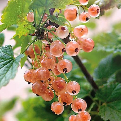 Смородина розовая  Роза Чаир