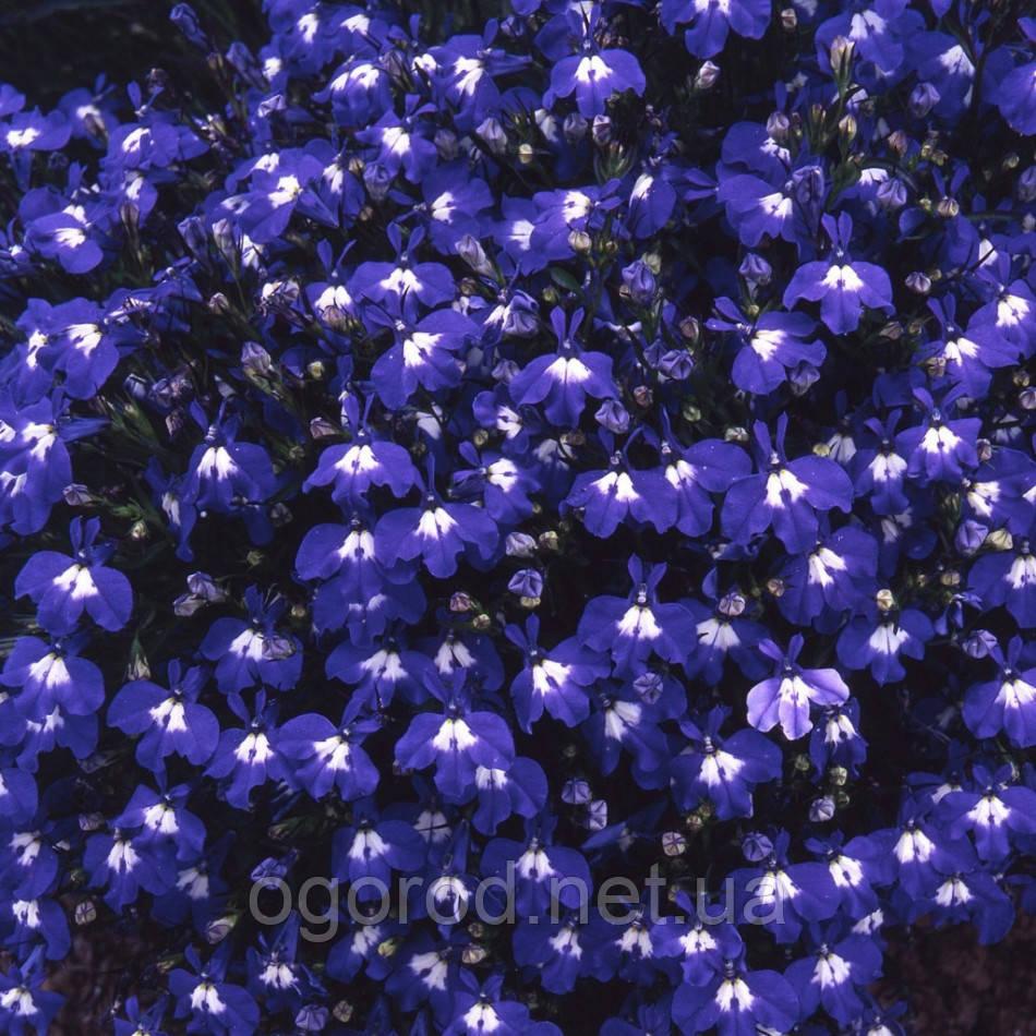 Семена лобелия Palace 1000 мультигранул Benary Германия Blue With Eye