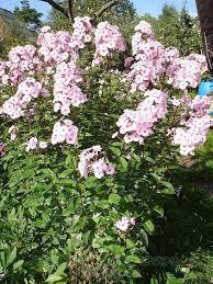 Флокс метельчатый розовый