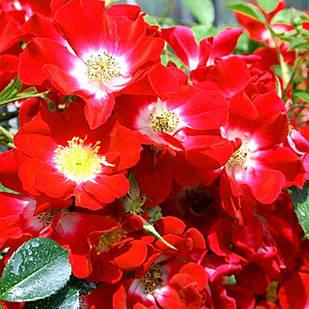 Саженцы почвопокровной розы Руж Мейяндекор (Rose Rouge Meillandecor)