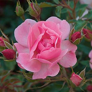 Саженцы почвопокровной розы Мирато (Rose Mirato)