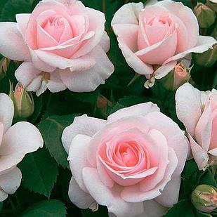 Саженцы почвопокровной розы Аспирин Розе (Rose Aspirin Rose)