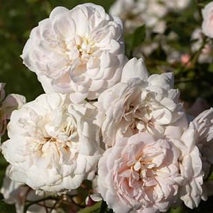 Саженцы почвопокровной розы Перпл Мейяндекор (Rose Perle Meillandecor)
