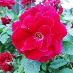 Саженцы почвопокровной розы Хеллоу (Rose Hello)