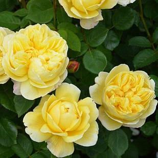 Саженцы розы - почвопокровной Зоненширм (Rose Sonnensсhirm)