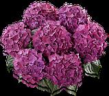 Гортензия крупнолистная Hot Red Purple горшок С2, фото 2