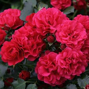 Саженцы почвопокровной розы Гартнер Фройде (Rose Gartnerfreude)