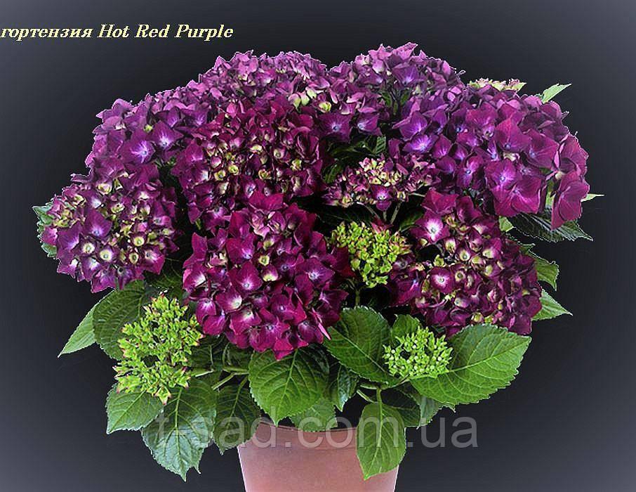 Гортензия крупнолистная Hot Red Purple горшок С2