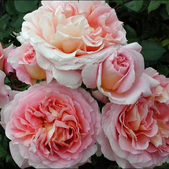 Саджанці англійської троянди Абрахам Дарбі (Rose Abraham Darby)