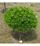 Сосна густоветная LOW GLOW РА65 (Pinus densiflora Low Glow), фото 2