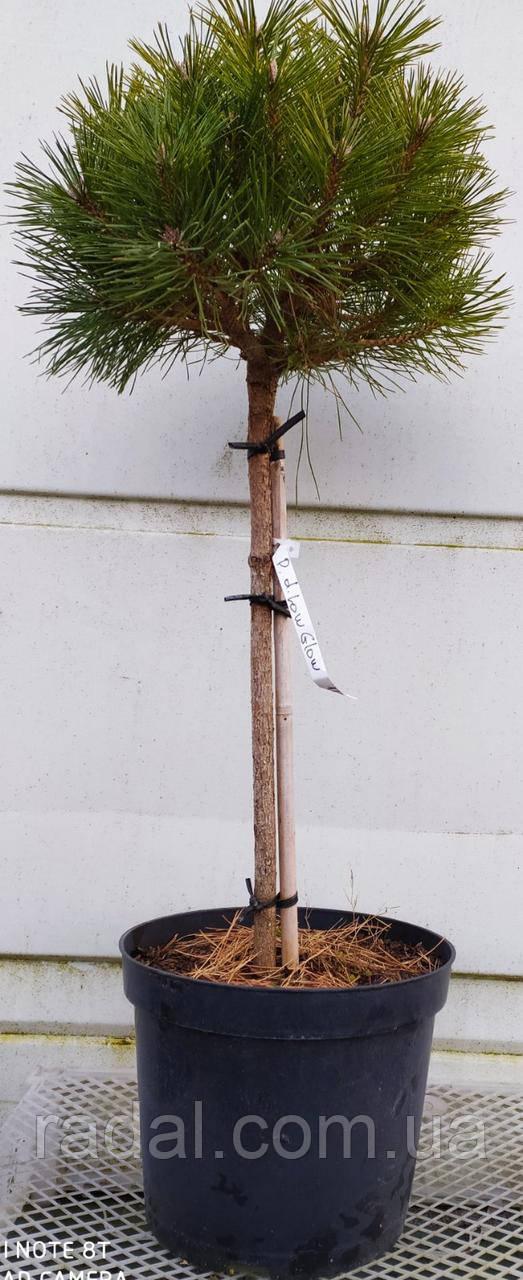 Сосна густоветная LOW GLOW РА65 (Pinus densiflora Low Glow)