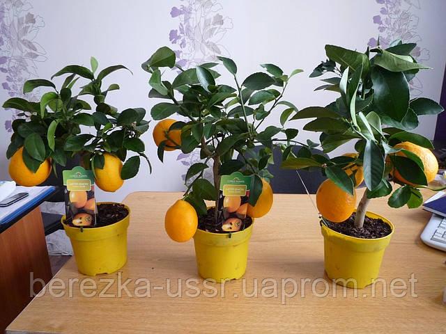 Лимон Мейера, комнатный лимон с плодами, привитое растение