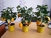 Лимон Мейера, комнатный лимон с плодами, привитое растение, фото 1