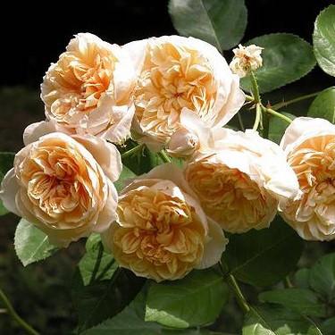 Саженцы английской розы Джейн Остин (Rose Jayne Austin)