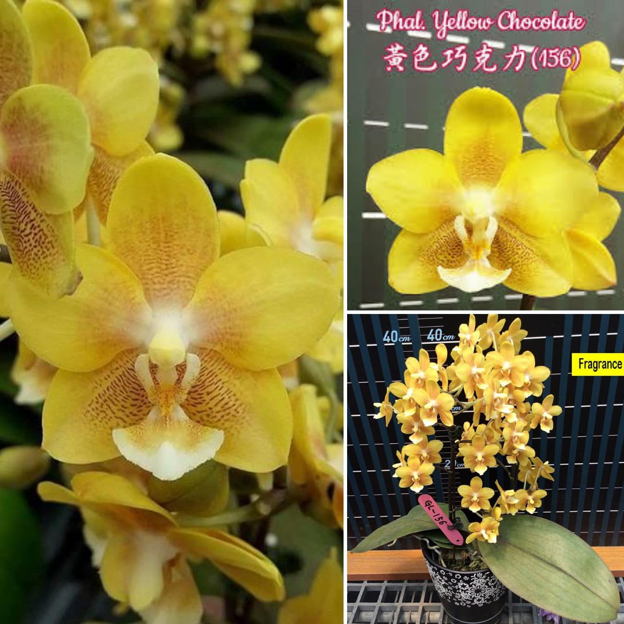 """Орхідея дорослі, горщик 2.5"""" без квітів Сорт Phal. Yellow Chocolate"""