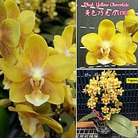 """Орхидея взрослые, горшок 2.5"""" без цветов Сорт Phal. Yellow Chocolate"""