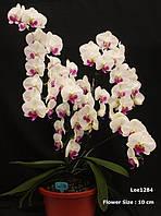 """Легка уцінка. Підлітки орхідеї. Сорт Charming crystal ball, горщик 1.7"""" без квітів."""