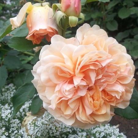Саджанці англійської троянди  Пегасус (Rose Pegasus)