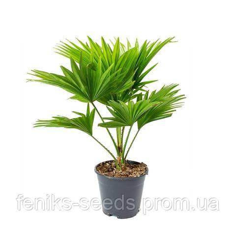 Ливистона китайская пальма семена