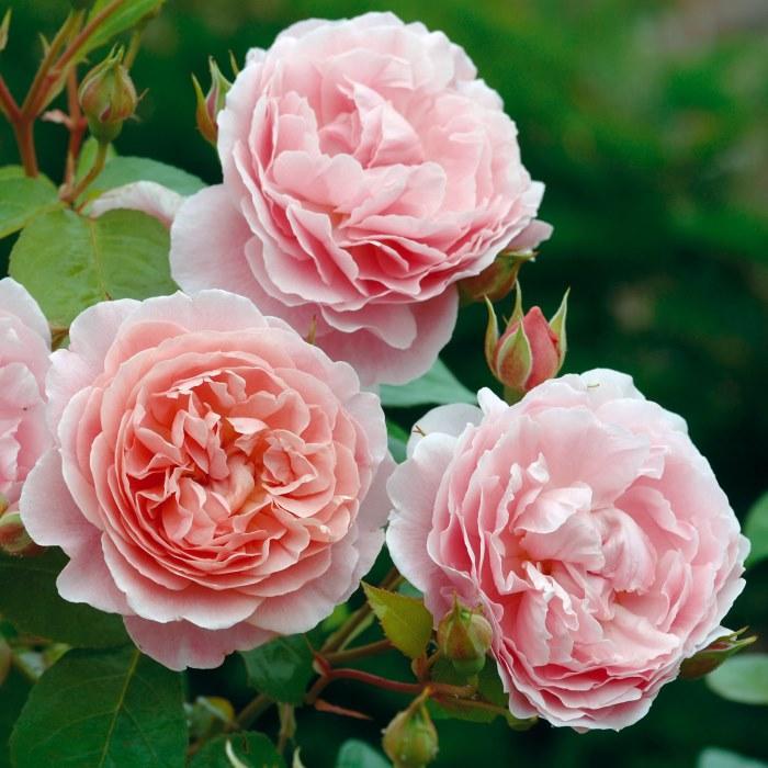 Саджанці  англійської троянди Строуберрі Хілл (Rose Strawberry Hill)