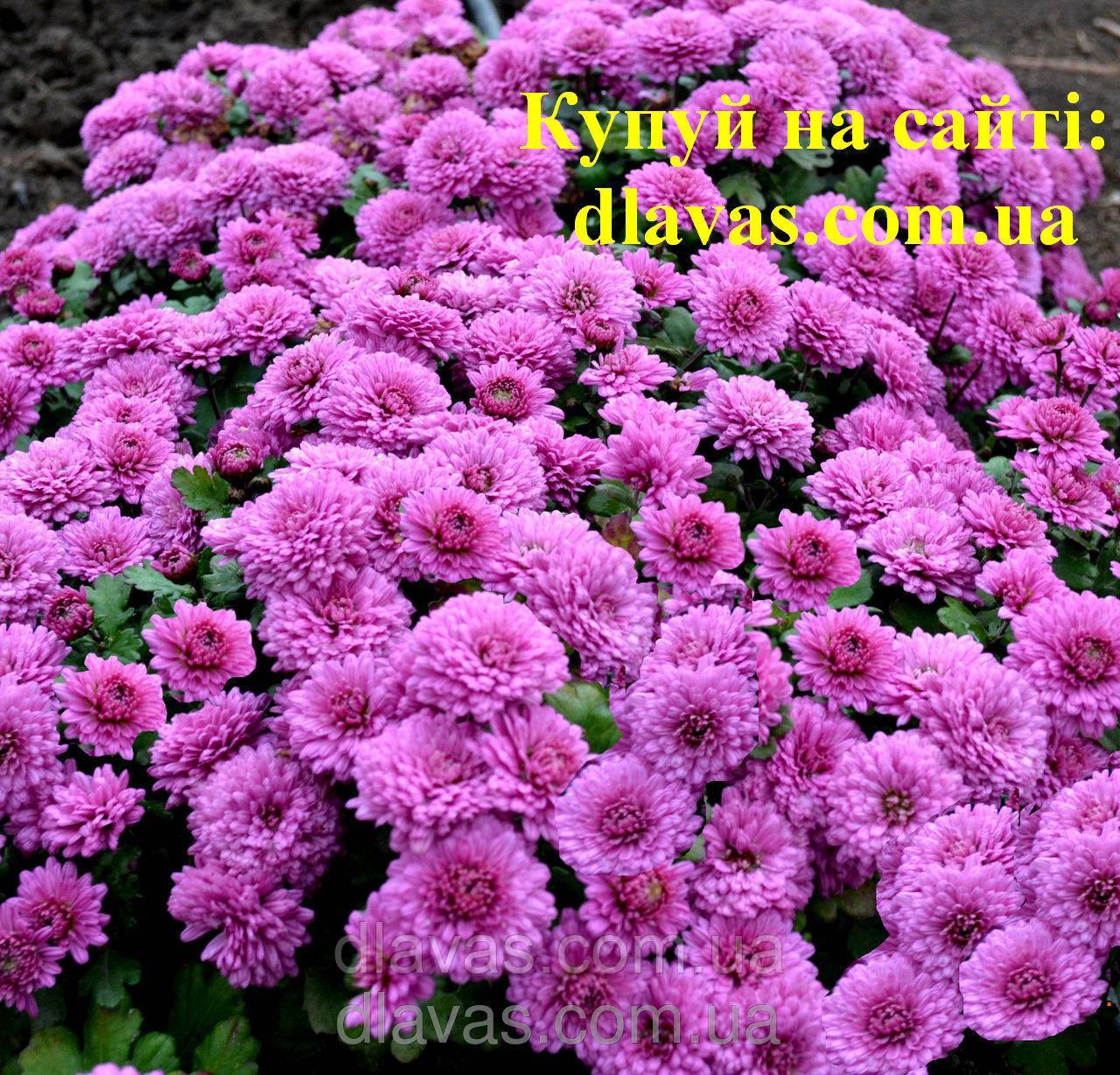 Хризантема мультифлора (стелится по земле) ранняя