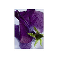 Фотообои Komar Цветок фиалка 4-711