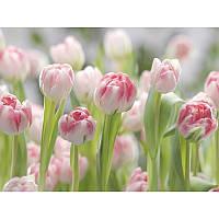 Фотообои Komar Тюльпаны 8-708
