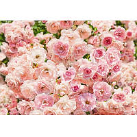 Фотообои Komar Пастельные розы 8-937