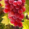 """ВИНОГРАД """"КРАСНЫЙ МЕД"""" (Red Grapes Honey)"""