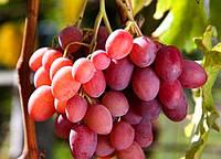 """ВИНОГРАД """"РОЗОВЫЙ ГИГАНТ"""" (Pink Globe Grape Giant)"""