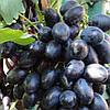 "ВИНОГРАД ""ЧЕРНОЕ ЗОЛОТО"" (Black Gold Grapes)"