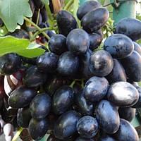 """ВИНОГРАД """"ЧЕРНОЕ ЗОЛОТО"""" (Black Gold Grapes), фото 1"""