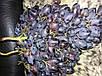 Семена Виноград Черное Золото, фото 2