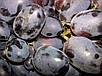 Семена Виноград Черное Золото, фото 3