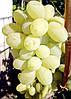 """ВИНОГРАД """"ЯНТАРНЫЙ ГИГАНТ"""" (Amber Giant Grapes)"""