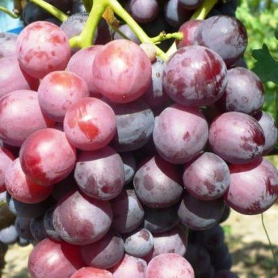 Саженцы Винограда Кардинал - раннего срока, урожайный, морозостойкий