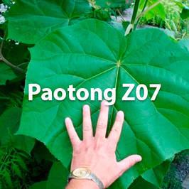 Павловнія Paotong Z07