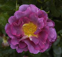 Роза Блаувештад (Blauwestad) Флорибунда, фото 3