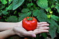 Насіння томату індетермінантного Маско F1, (500с.), Clause, Франція