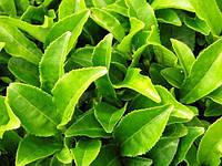 Зеленый чай нейтрализует радиацию