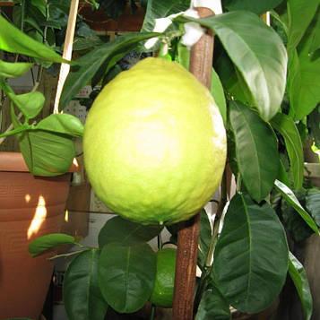 Лимон Пандероза (20-30, контейнер)